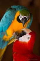 Macaw kiss ©KathyWestStudios