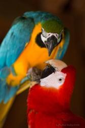 Scarlet Macaw kiss