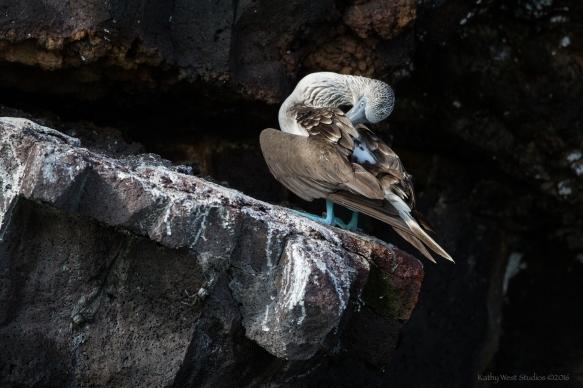 Blue footed booby preening ©KathyWestStudios