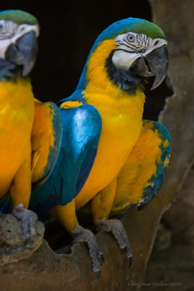 Blue and yellow Macaw, Ecuador ©KathyWestStudios