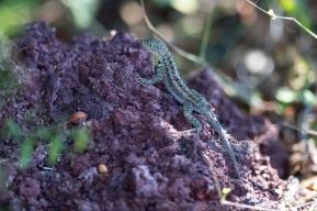 Darwin Center lizard, Galapagos island ©KathyWestStudios