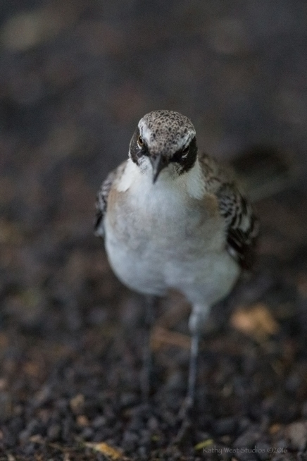Galapagos Mockingbird, Galapagos Islands ©KathyWestStudios