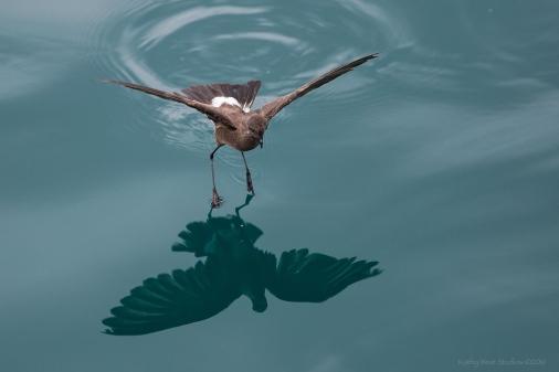 Petrel dancing on water