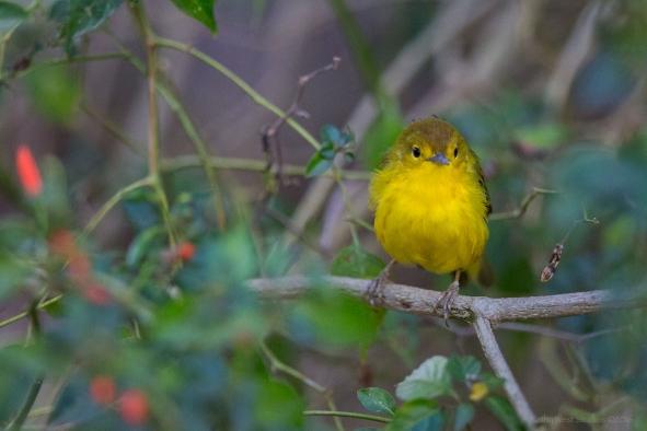 Yellow warbler, Galapagos Islands ©KathyWestStudios