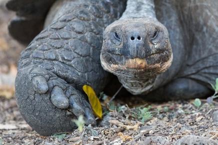 Galapagos tortise, Galapagos Islands ©KathyWestStudios