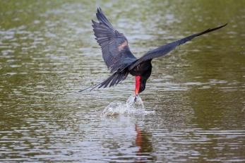 Frigatebird drinking fresh water, Galapagos Islands