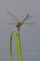 Dragonfly, Cambodia ©KathyWestStudios
