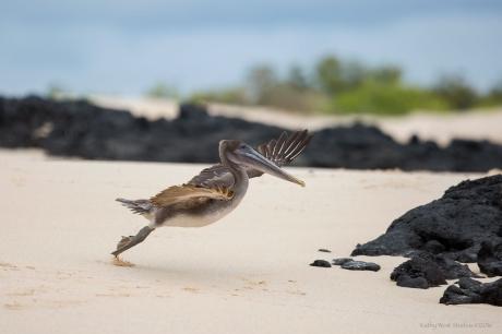 Pelican takeoff, Galapagos Islands ©KathyWestStudios
