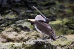 Pelican swallowing, Galapagos Islands ©KathyWestStudios