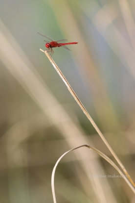Orange Dragonfly, Cambodia ©KathyWestStudios