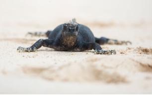 Marine iguana, Galapagos Islands ©KathyWestStudios