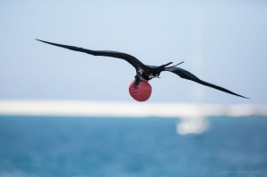 Magnificent frigate bird, Galapagos Islands ©KathyWestStudios