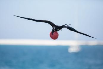Magnificent frigate bird, Galapagos Islands ©KathyWestStudios