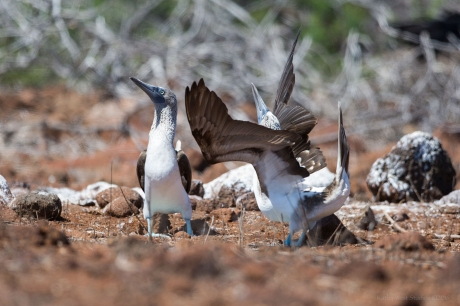 Blue footed booby mating display ©KathyWestStudios
