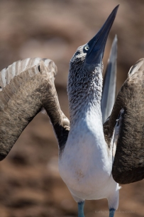Blue footed booby display ©KathyWestStudios