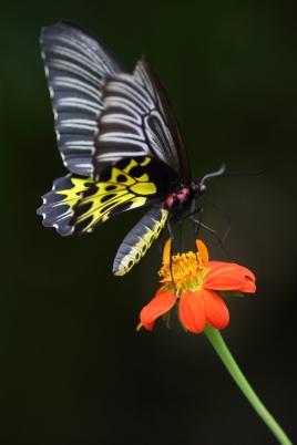 Common Birdwing Butterfly, Banteay Shey, Cambodia ©KathyWestStudios