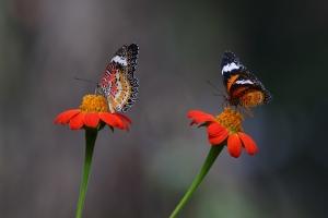 Leopard lacewing butterflies ©2017KathyWestStudios