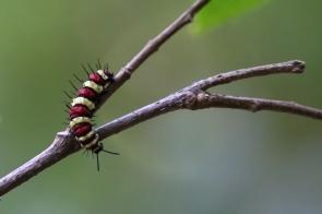 Caterpillar, Banteay Shey, Cambodia©2017KathyWestStudios