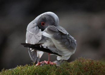 Swallow tailed gull preening, Galapagos Islands