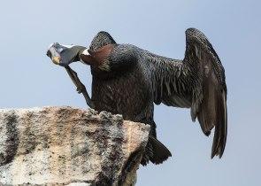 Pelican scratching head, Galapagos Islands