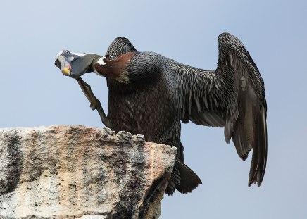 Brown pelican (Pelecanus occidentalis) scratching head, Galapagos Islands