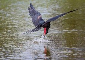 Magnificent Frigatebird (Fregata magnificens) getting a drink, Galapagos Islands