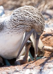 Blue-footed booby (Sula nebouxii), feeding chick, Galapagos