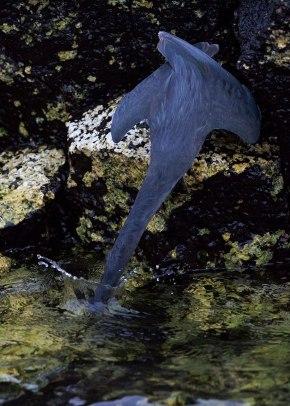 Hunting lava heron, Galapagos Islands ©KathyWestStudios