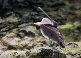 Pelican swallowing, Galapagos Islands ©KathyWestStudios