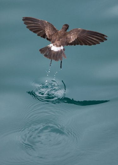 Storm petrel dancing on water, Galapagos Islands ©KathyWestStudios