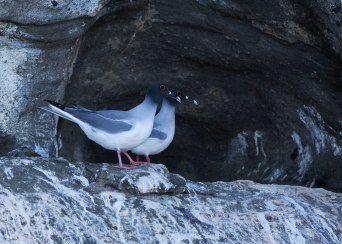 Swallow tailed gulls, Galapagos Islands ©KathyWestStudios