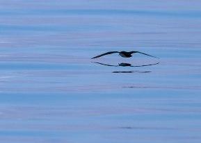 Shearwater in morning light, Galapagos Islands ©KathyWestStudios