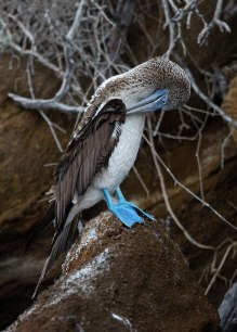 Blue footed booby, Galapagos Islands ©KathyWestStudios