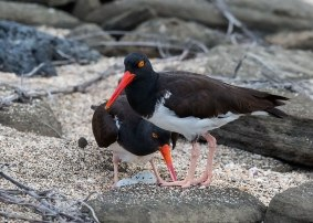 American oystercatchers on nest, Galapagos Islands