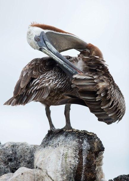 Brown pelican (Pelecanus occidentalis), Galapagos Islands