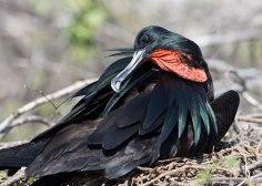 Great Frigate bird ©KathyWestStudios