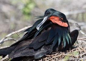 Great Frigate bird, Galapagos Islands