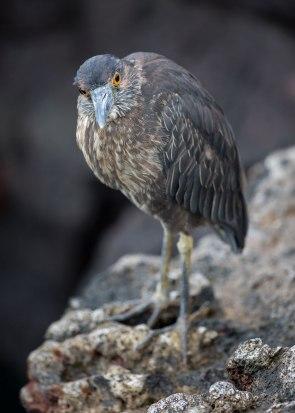 Juvenile lava heron