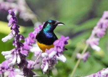 Variable sunbird, Tanzania ©KathyWestStudios