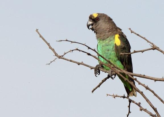 Brown parrot, Tanzania