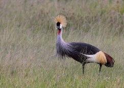 Grey crowned crane, Tanzania ©KathyWestStudios