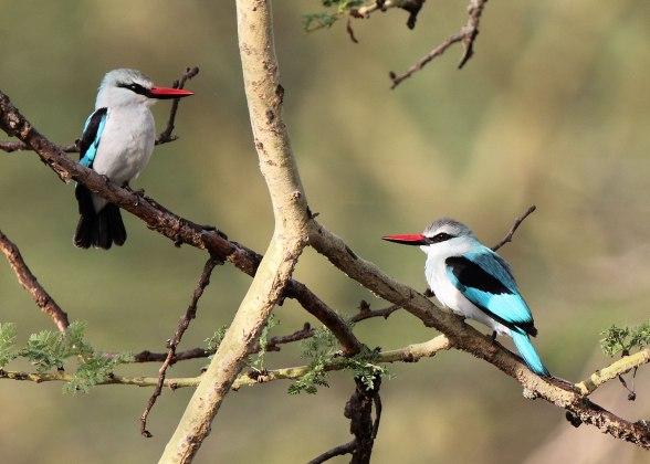 Woodland kingfishers, Tanzania