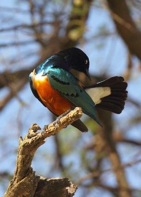Splendid starling, Tanzania ©KathyWestStudios