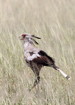 Secretary bird, Tanzania ©KathyWestStudios