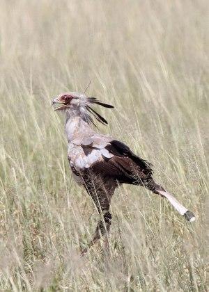 Secretary bird (Sagittarius serpentarius) Tanzania