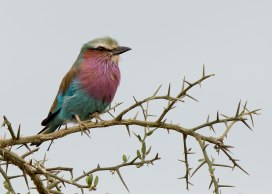 Lilac breasted roller, Tanzania