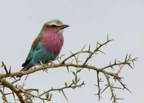 Lilac breasted roller, Tanzania ©KathyWestStudios