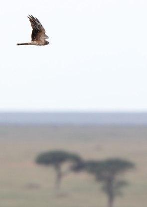 African harrier, Serengeti ©KathyWestStudios