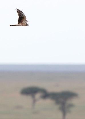 African harrier, Tanzania