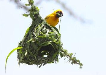 Southern masked weaver (Ploceus velatus) building a nest, Oldupai Gorge, Tanzania